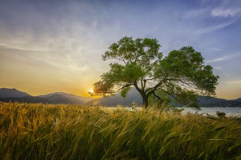 Фото Дерево в поле на закате, by c1113