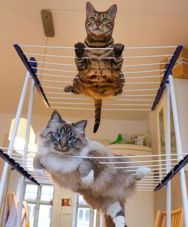 Фото Кошки лежат на сушилке для белья