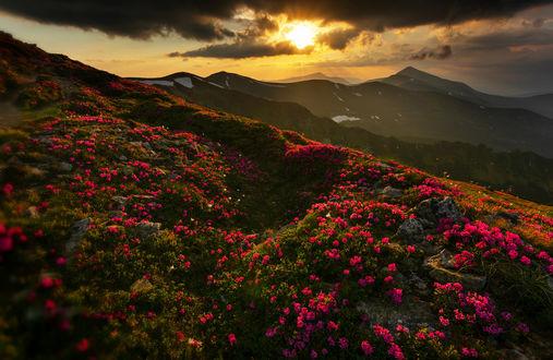 Фото Розовые цветы перед горным хребтом на фоне заката, by Mike Remeniuk