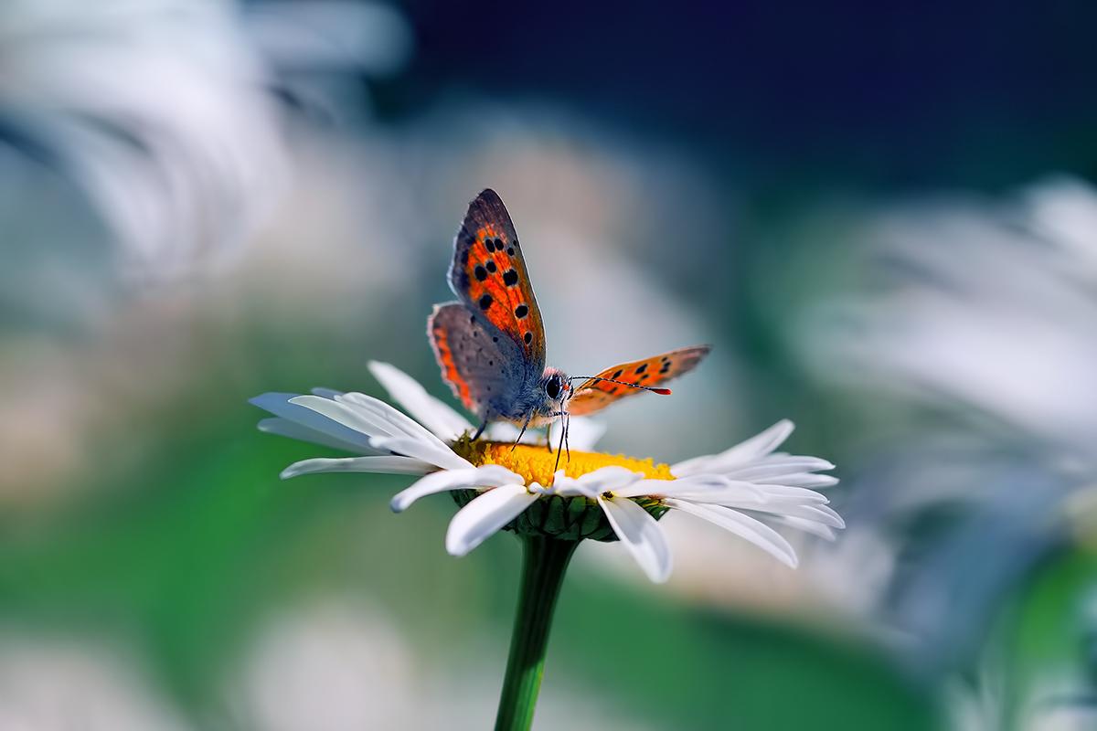 Бабочка на ромашке. Фотограф Алена Сурнина