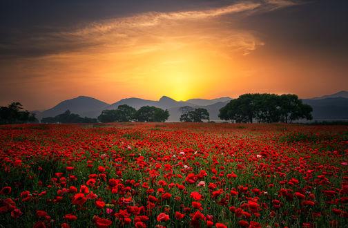 Фото Закат солнца над полем красных маков. Фотограф Tiger Seo