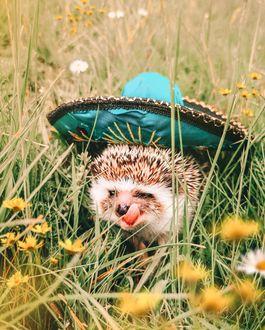 Фото Ежик в сомбреро гуляет в траве среди ромашек и одуванчиков, by mr. pokee