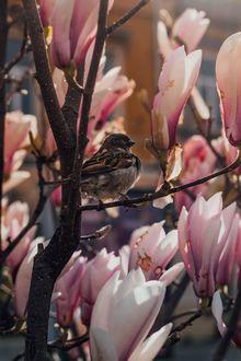 Фото Воробей сидит на ветке цветущей магнолии. Фотограф Sebastian Dumitru