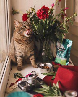 Фото Кошка с высунутым языком сидит на подоконнике с вазой цветов, фотоаппаратом, by anamarkovych