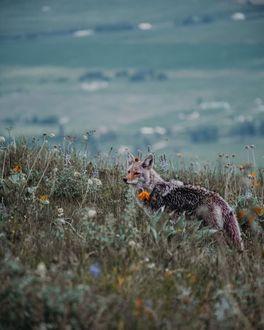 Фото Лиса на природе, by guth. co