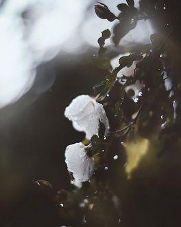 Фото Белые розы в каплях росы, фотограф Kristina Manchenko
