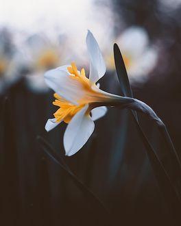Фото Нарцисс на размытом фоне, фотограф Kristina Manchenko