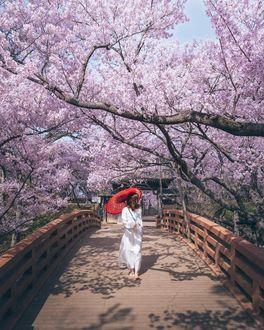 Фото Девушка в белой одежде с красным зонтом идет по мосту под цветущей сакурой, by Hiroki