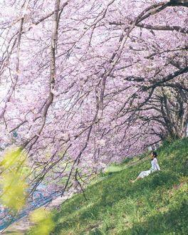 Фото Девушка в белой одежде сидит в траве под цветущей сакурой, by Hiroki