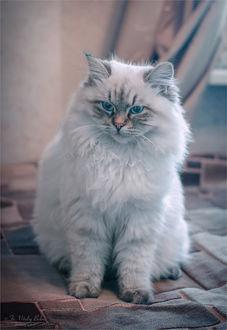 Фото Белая кошка с голубыми глазами. Фотограф Optina