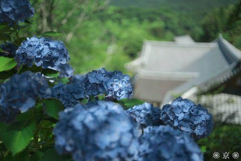 Фото Цветущая голубая гортензия
