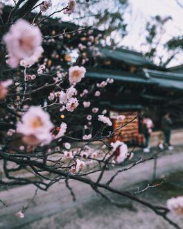 Фото Веточки цветущей сакуры, by tetsu
