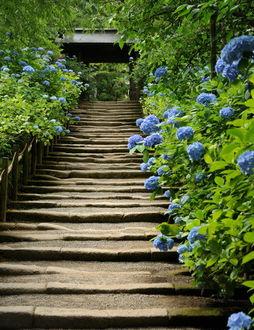 Фото Цветущая гортензия по обе стороны от ступенек, ботанический сад -Koishikawa Korakuen Gardens, Токио, Japan / Япония