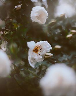Фото Белые розы на размытом фоне, by Кристина Манченко