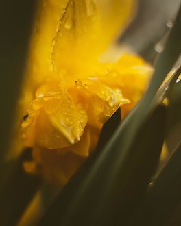 Фото Желтый нарцисс после дождя, by Кристина Манченко