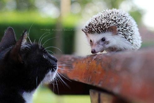 Фото Кошка смотрит на ежика, фотограф Szilvia Pap-Kutasi