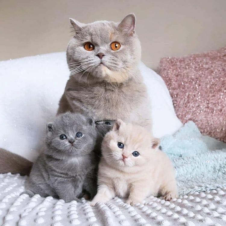 бухая отличие шотландских котят от британских фото касается общения бывшими