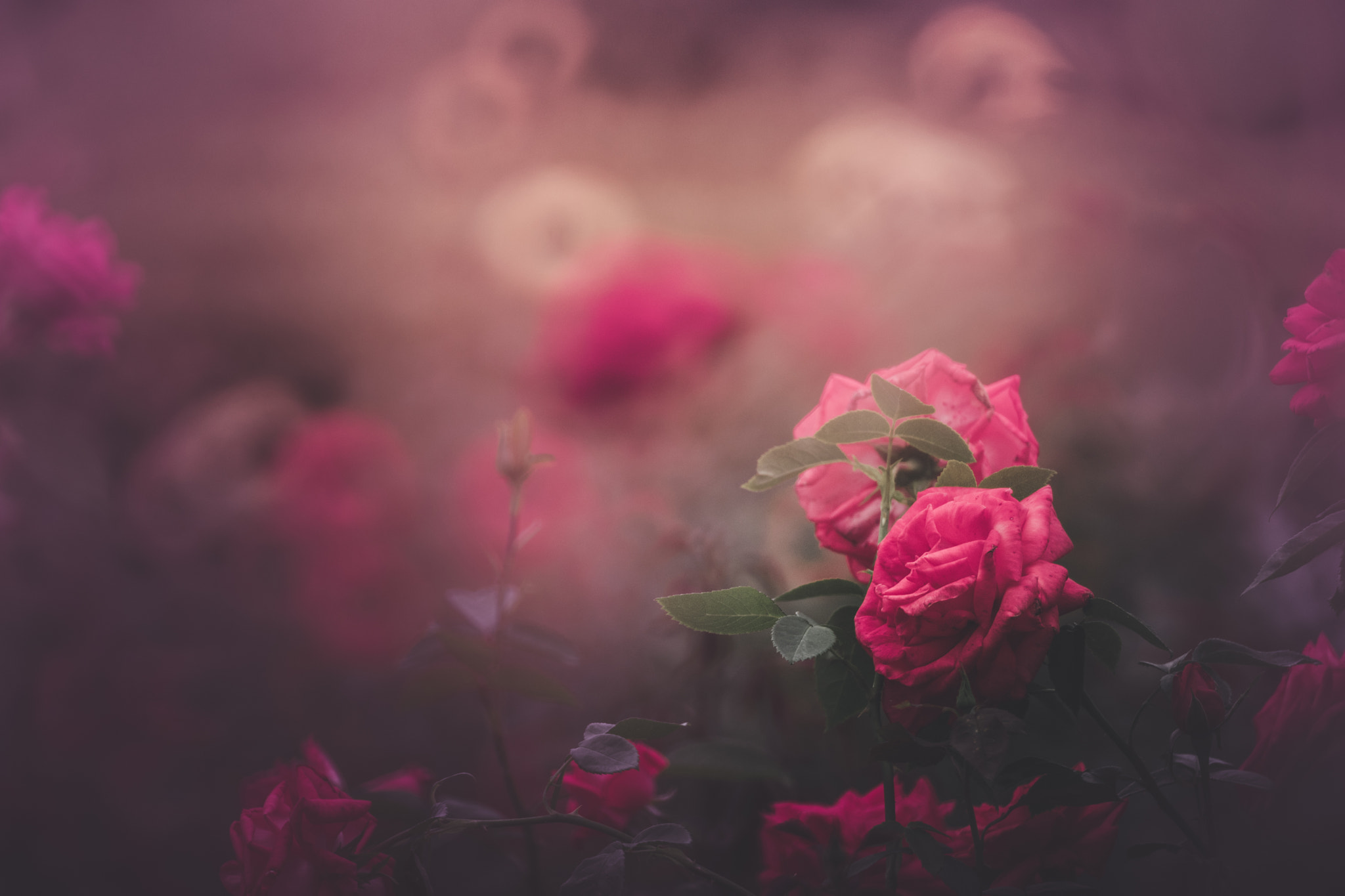 Фото Розовые розы на размытом фоне, by kazumi n