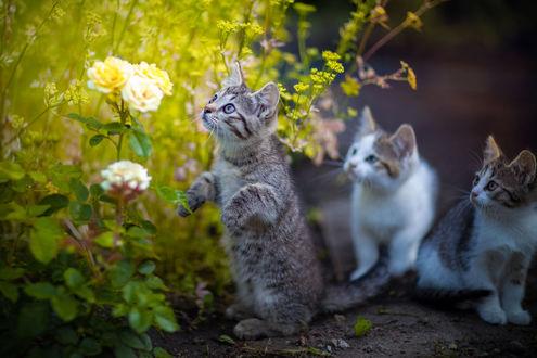 Фото Котята у цветов, фотограф Коротун Юрий