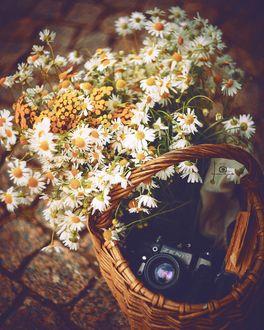 Фото Ромашки и фотоаппарат в корзине, фотограф Татьяна Миронова