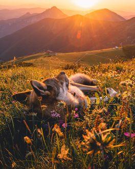 Фото Уставший пес лежит на траве с цветами, by life. of. orco