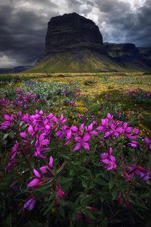 Фото Лето в Исландии, на переднем плане сиреневые цветы, by Daniel Fleischhacker