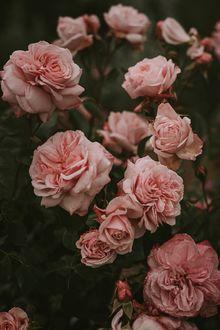 Фото Розовые розы, by Adina Voicu
