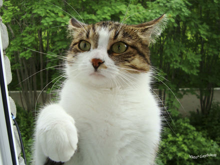 Фото Кошка с зелеными глазами. Фотограф Vikto® Gaydukoff