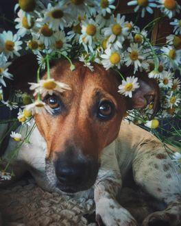 Фото Мордочка собаки выглядывает из-за ромашек, by rodionova_liliya