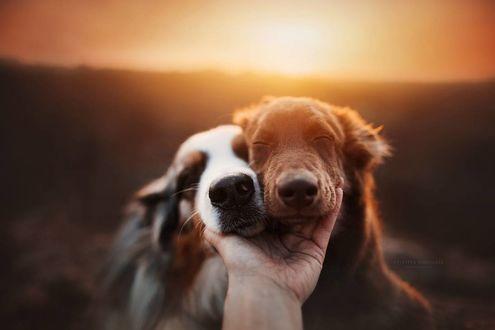 Фото Австралийские овчарки на фоне заката, by KristynaKvapilova