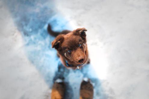 Фото Щенок австралийской овчарки, by KristynaKvapilova
