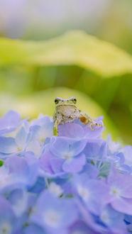 Фото Лягушка сидит на гортензии, by kazumi n