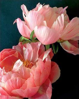 Фото Розовые пионы на синем фоне