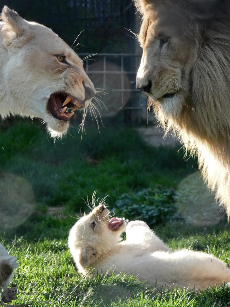 Фото Львенок между львицей и львом, by Mouselemur