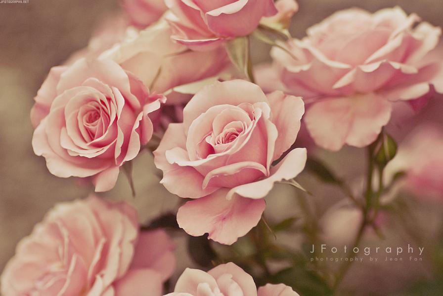 Фото Розовые розы, by JeanFan