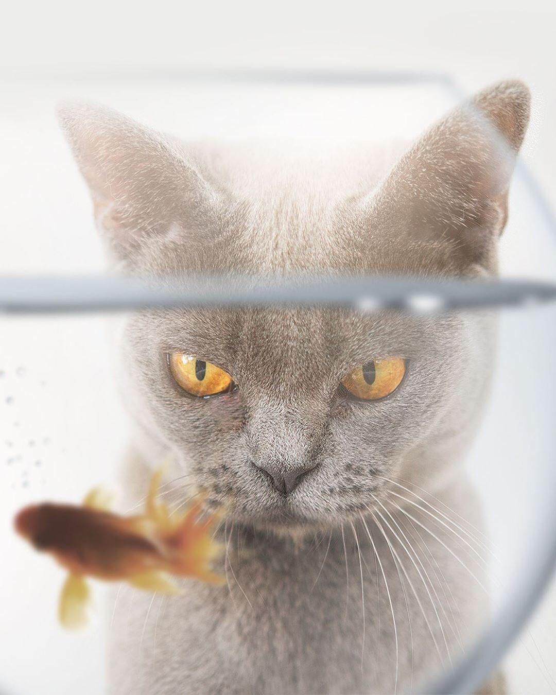 Фото Сердитый кот смотрит на золотую рыбку в аквариуме, by Zenja Gammer