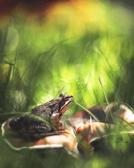 Фото Лягушка в траве, фотограф Татьяна Миронова