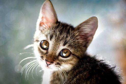 Фото Милый серый котенок, by anastasiya. mazay