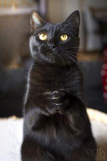 Фото Черный котик стоит на задних лапках, by Arkus83