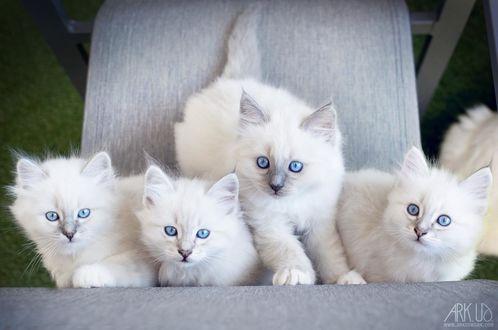 Фото Четверо белых голубоглазых котенка, by Arkus83