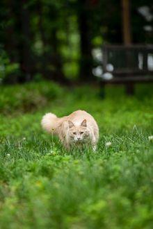 Фото Пушистая кошка в зеленой траве, фотограф Erda Estremera