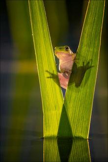 Фото Лягушка на растении, by Georg Scharf