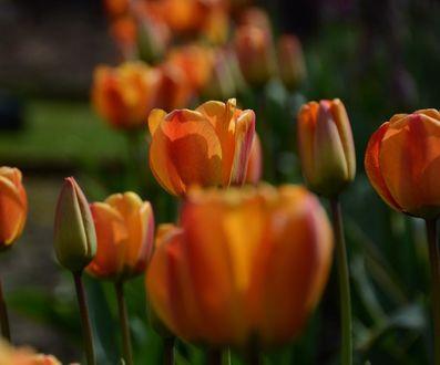 Фото Оранжевые тюльпаны, by monique. rebanks