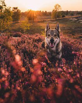Фото Волчак среди цветов, by Life Of Orco