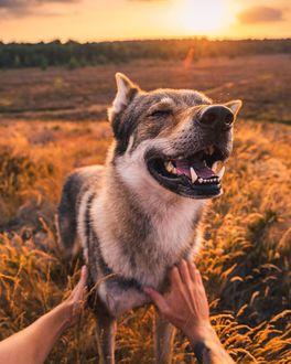 Фото Довольный волчак, которого гладят, by Life Of Orco