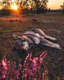Фото Волчак лежит на земле, by Life Of Orco