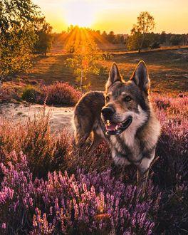 Фото Волчак стоит среди розовых цветов, by Life Of Orco