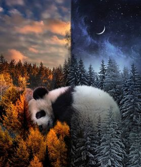 Фото Панда изображена на фоне осеннего и зимнего леса одновременно, by skip_closer