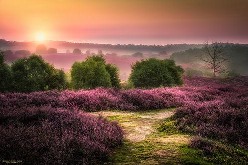 Фото Поля с вереском освещаются солнцем, Posbank / Посбанк in Rheden, Netherlands / Реден, Нидерланды, фотограф Herman van den Berge