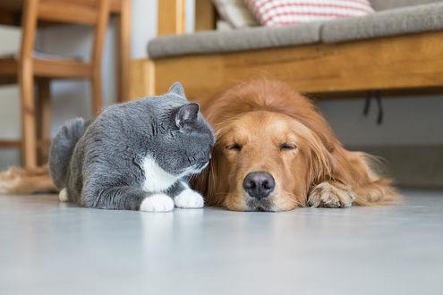 Фото Золотистый ретривер и британская короткошерстная кошка на полу, by Chendongshan